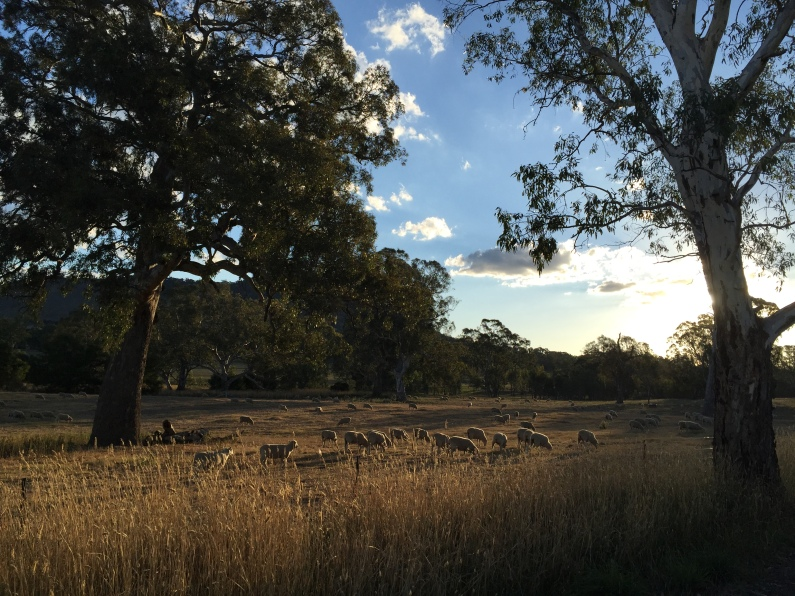 Gum trees and sheep in the evening as the sun is setting.   This photo is reminiscent of Hans Heysen's 1910 watercolour painting
